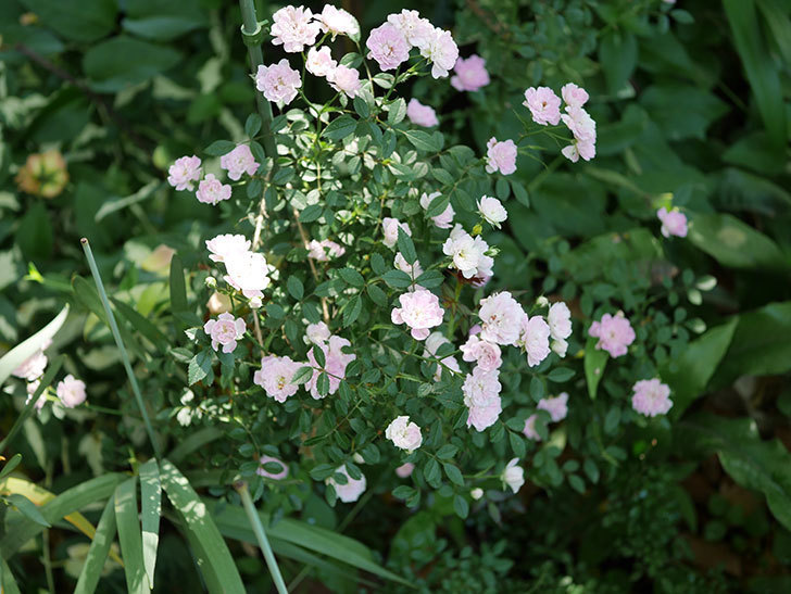 舞姫(ミニバラ)の花が増えて来た。2019年-2.jpg