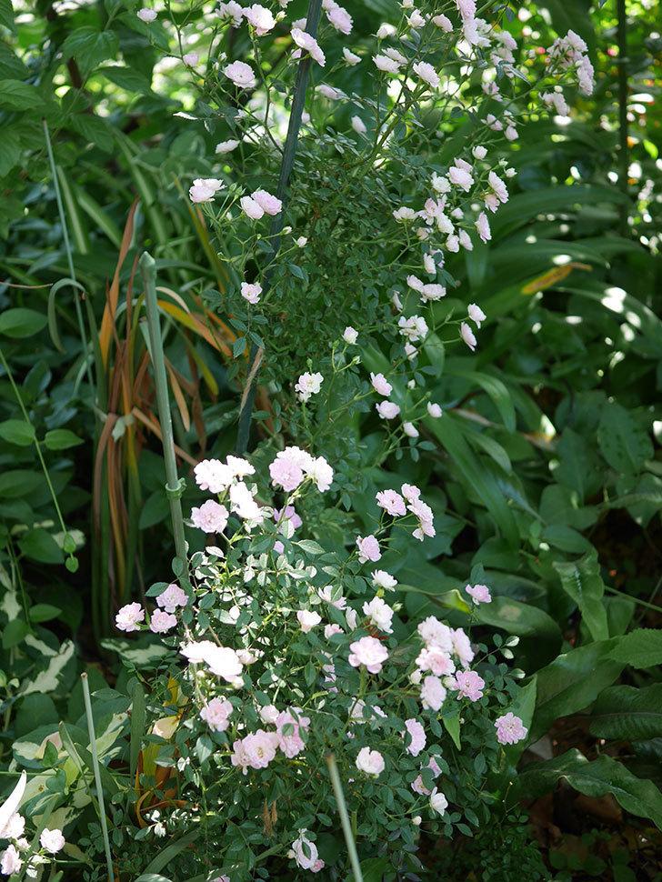 舞姫(ミニバラ)の花が増えて来た。2019年-4.jpg