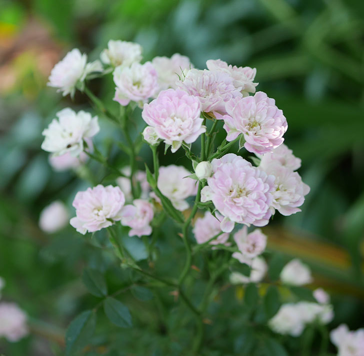 舞姫(ミニバラ)の花が増えて来た。2019年-6.jpg