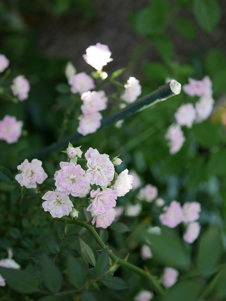 舞姫(ミニバラ)の花が増えて来た。2019年-7.jpg