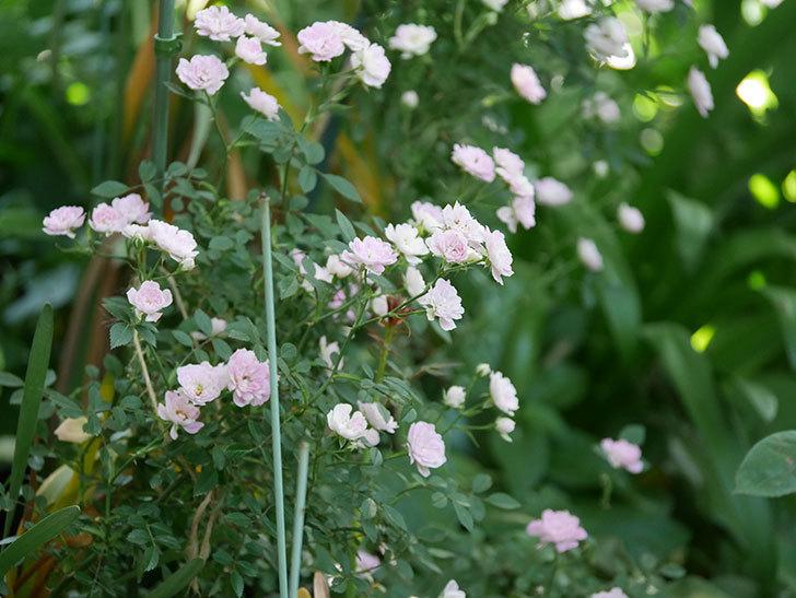 舞姫(ミニバラ)の花が増えて来た。2019年-8.jpg
