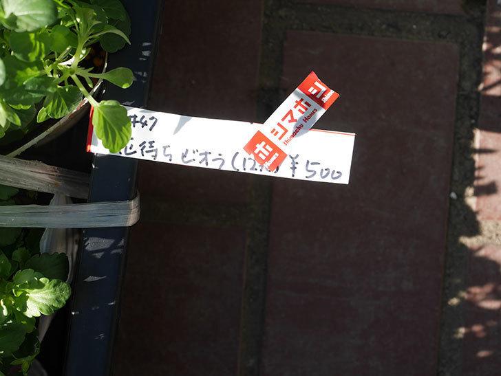 花の付いてないビオラの苗がホームズで12個500円だったので買って来た。2020年-003.jpg
