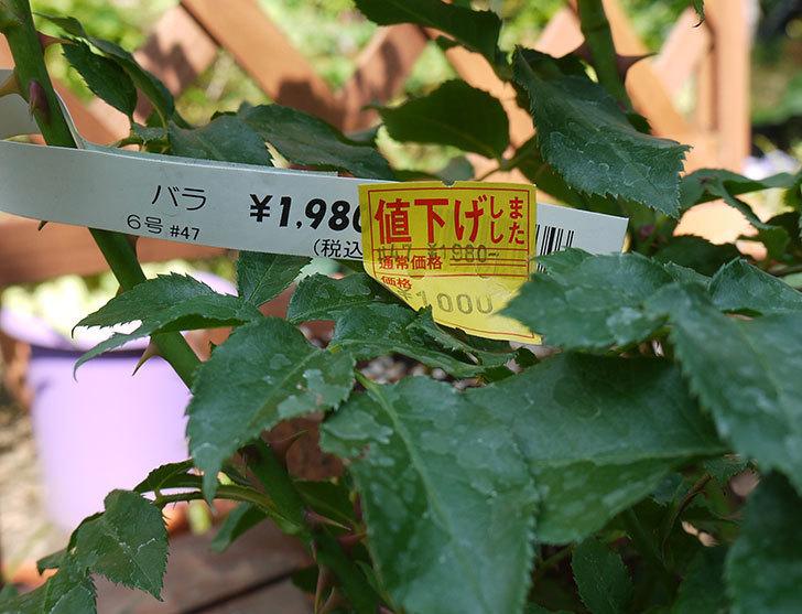 花の終わった木立バラの開花株がホームズで1,000円だったので買って来た4.jpg
