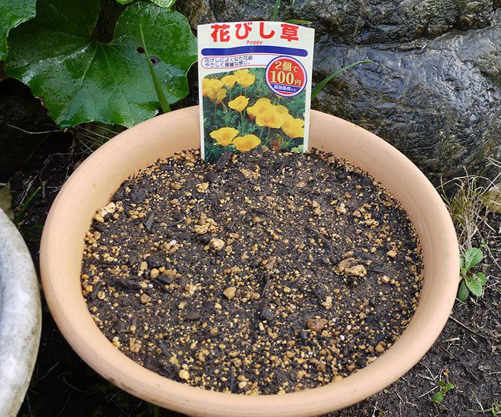 花びし草(カリフォルニア・ポピー)のタネ蒔いた。2016年-1.jpg