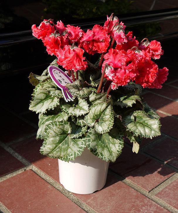 花びらがちぢれている赤いシクラメンをホームズで買って来た。2015年-1.jpg