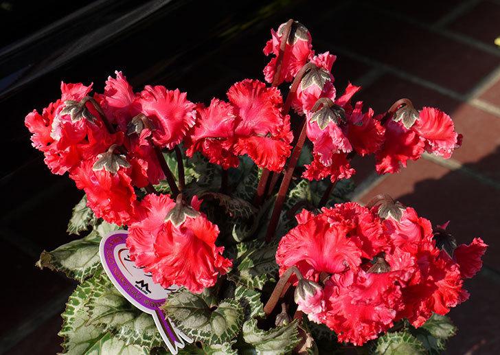 花びらがちぢれている赤いシクラメンをホームズで買って来た。2015年-2.jpg