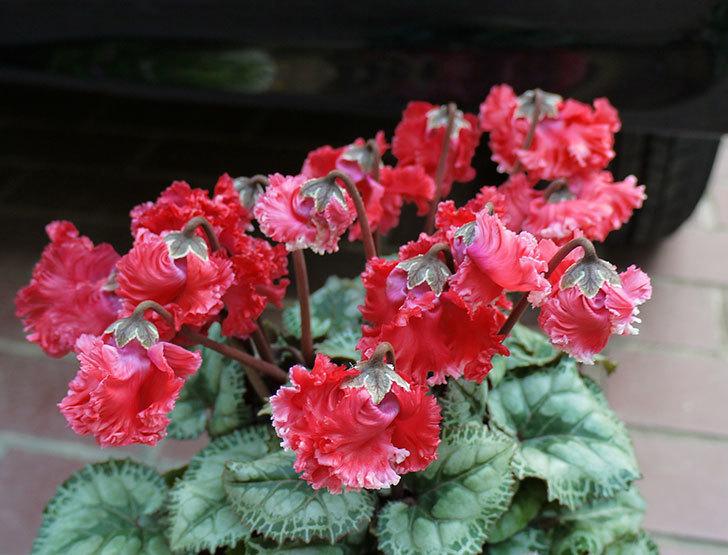 花びらがちぢれている赤いシクラメンをホームズで買って来た。2015年-8.jpg