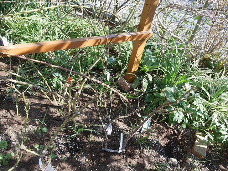 花壇に植えているピエール・ドゥ・ロンサール(ツルバラ)に寒肥を施した。2020年-3.jpg