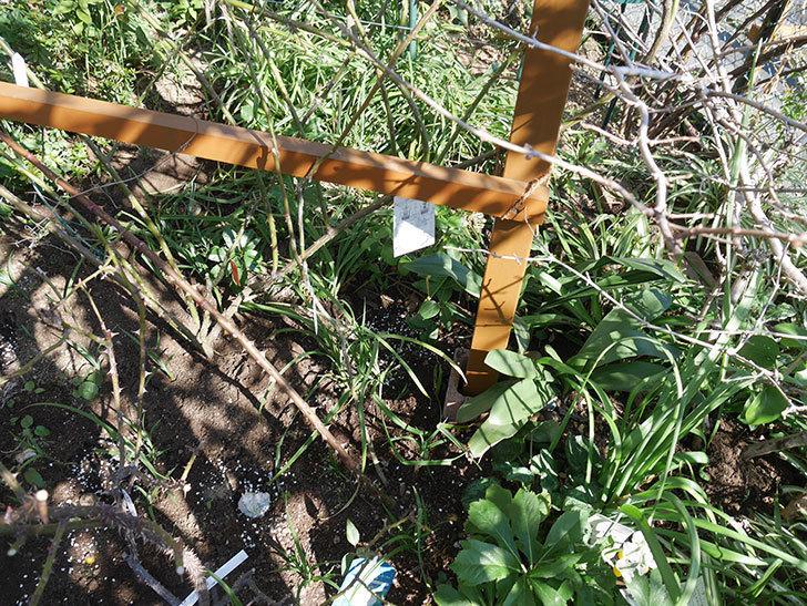 花壇に植えているピエール・ドゥ・ロンサール(ツルバラ)に寒肥を施した。2020年-4.jpg