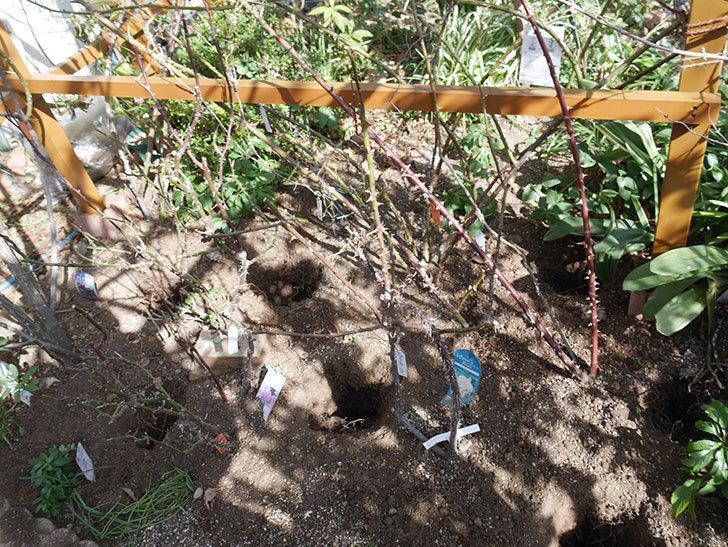 花壇のピエール・ドゥ・ロンサール(Pierre de Ronsard)に寒肥を施した。ツルバラ。2021年-007.jpg