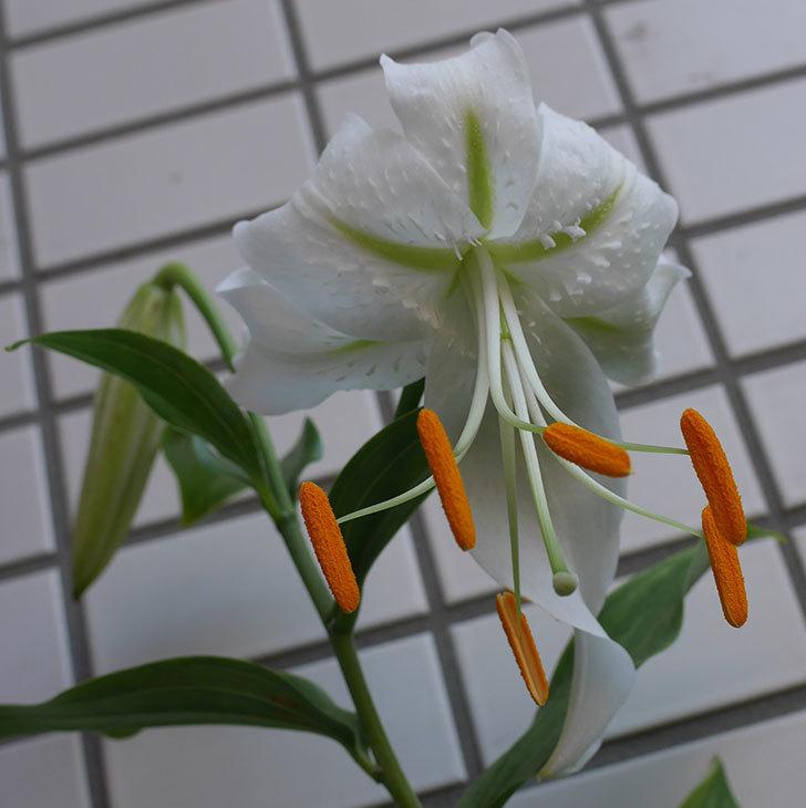 花弁がそっている白いユリが咲いた。2018年-1.jpg