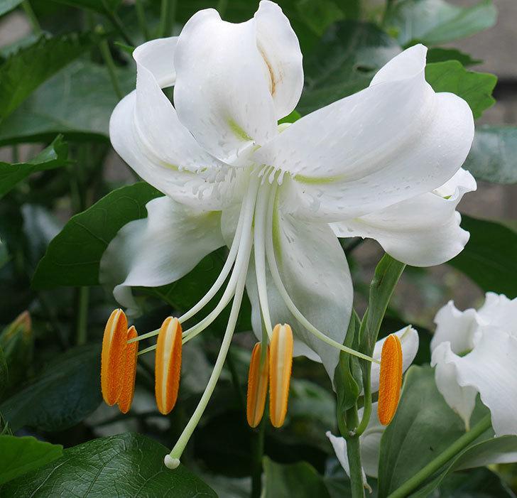 花弁がそっている白いユリに2個目の花が咲いた。2018年-2.jpg
