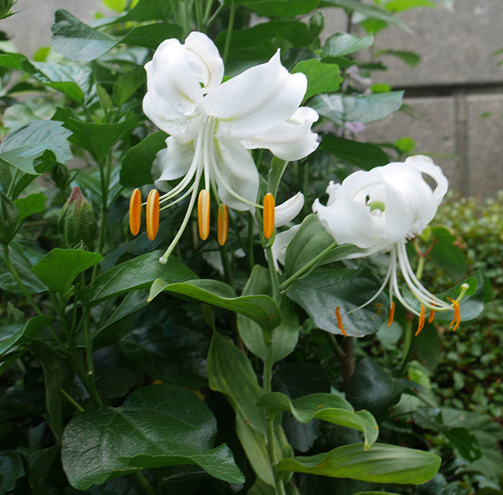 花弁がそっている白いユリに2個目の花が咲いた。2018年-3.jpg