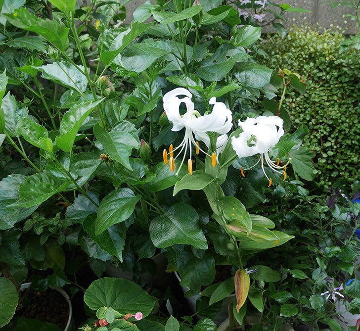 花弁がそっている白いユリに2個目の花が咲いた。2018年-4.jpg