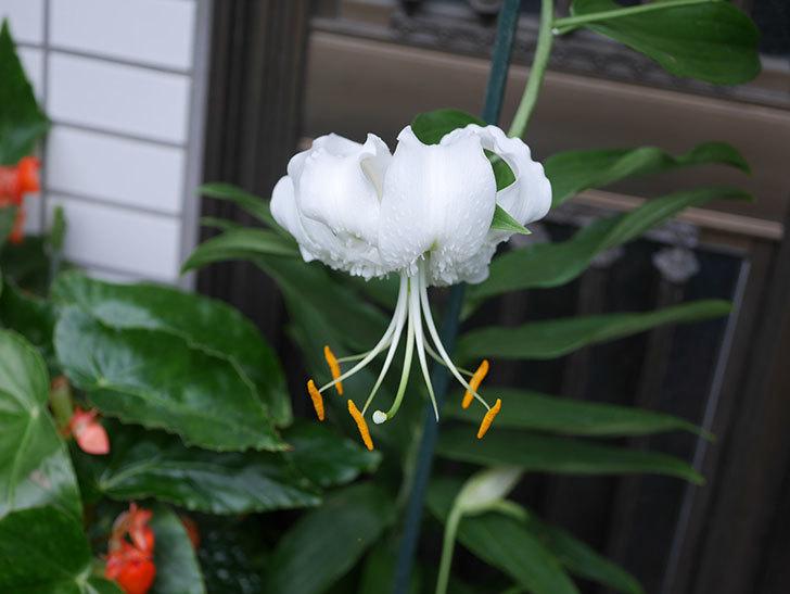 花弁が反っている白いユリが咲いた。2020年-008.jpg