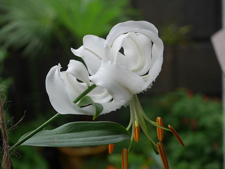 花弁が反っている白いユリの花が増えてきた。2020年-001.jpg