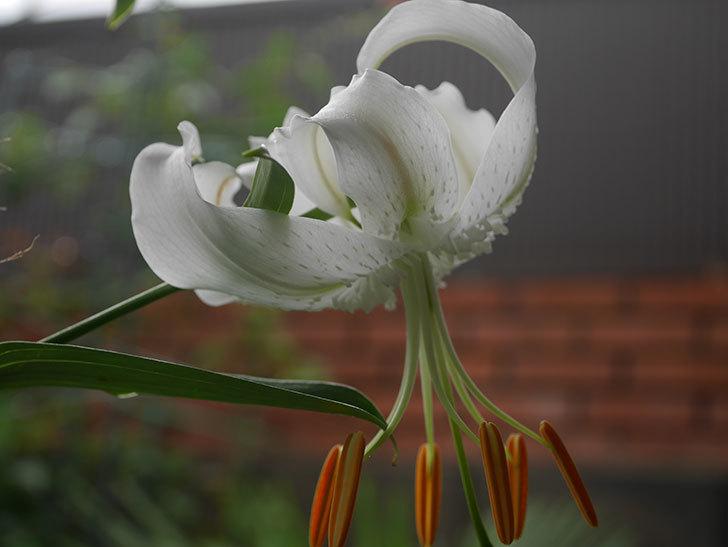 花弁が反っている白いユリの花が増えてきた。2020年-002.jpg