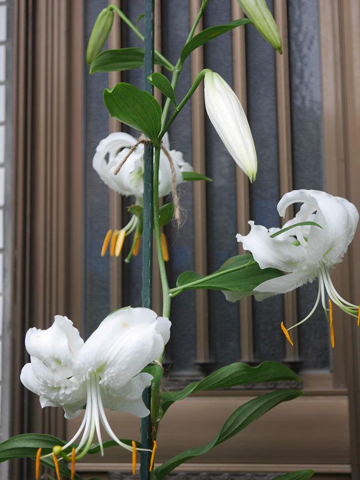 花弁が反っている白いユリの花が増えてきた。2020年-004.jpg
