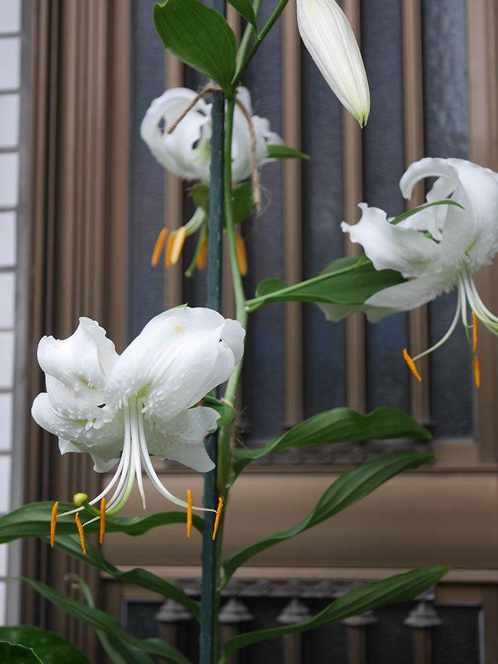 花弁が反っている白いユリの花が増えてきた。2020年-005.jpg
