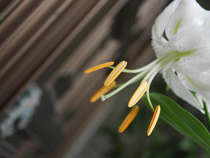 花弁が反っている白いユリの花が増えてきた。2020年-006.jpg