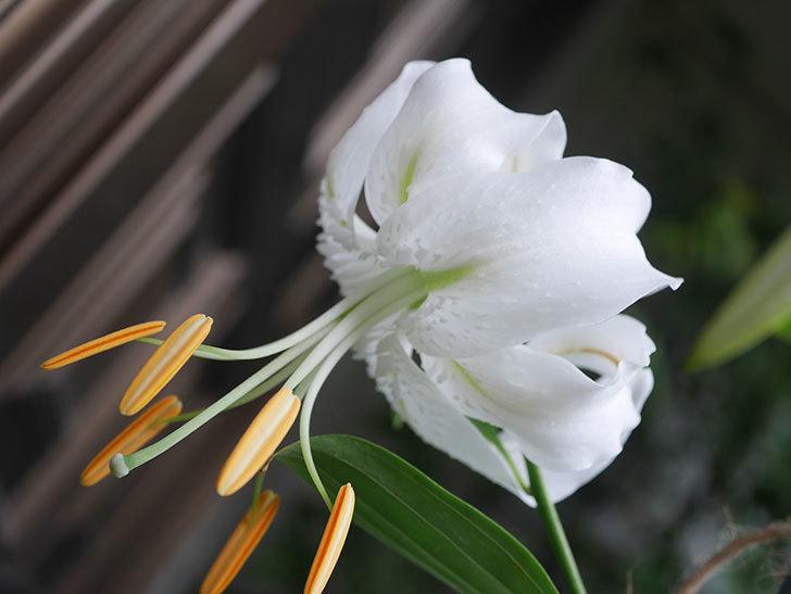 花弁が反っている白いユリの花が増えてきた。2020年-007.jpg