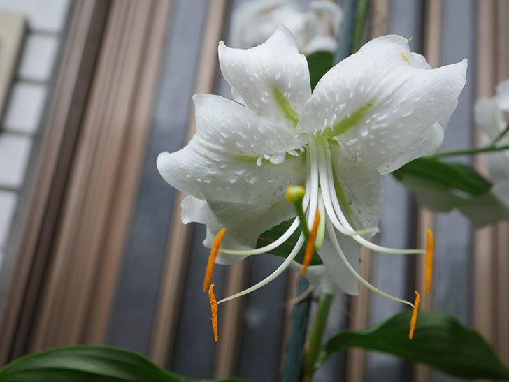 花弁が反っている白いユリの花が増えてきた。2020年-008.jpg