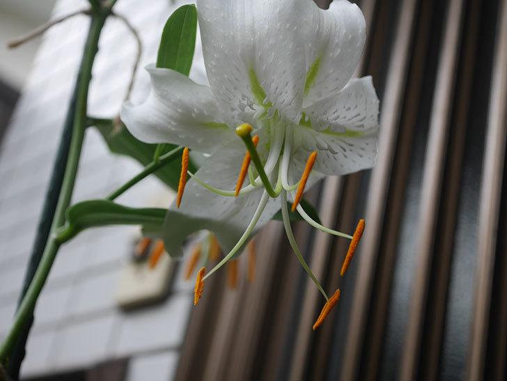 花弁が反っている白いユリの花が増えてきた。2020年-010.jpg