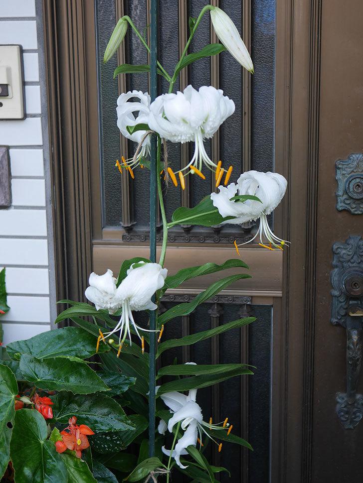 花弁が反っている白いユリの花が増えてきた。2020年-013.jpg