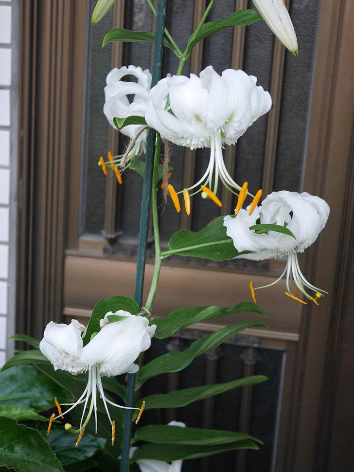 花弁が反っている白いユリの花が増えてきた。2020年-014.jpg