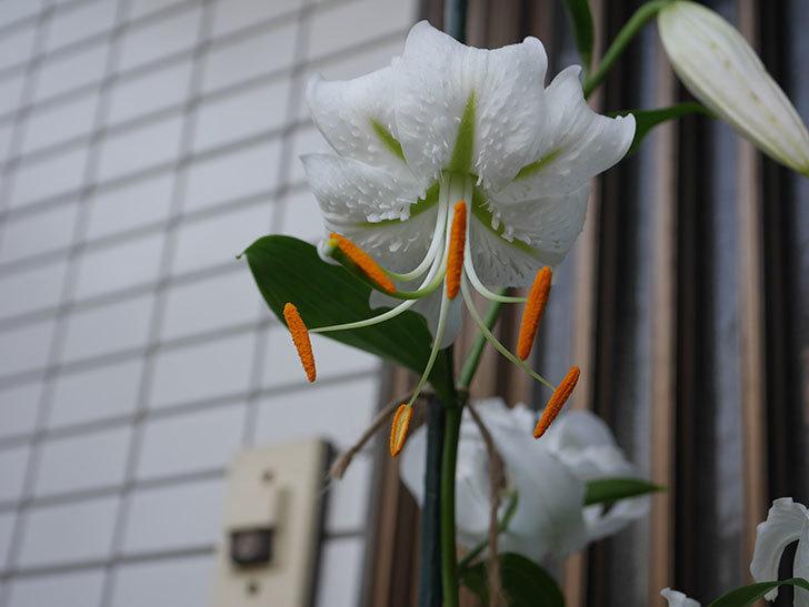 花弁が反っている白いユリの花が増えてきた。2020年-015.jpg