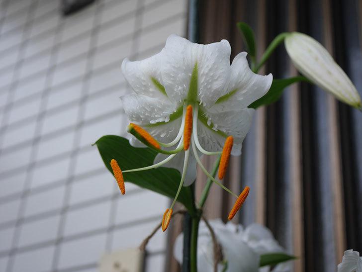 花弁が反っている白いユリの花が増えてきた。2020年-016.jpg