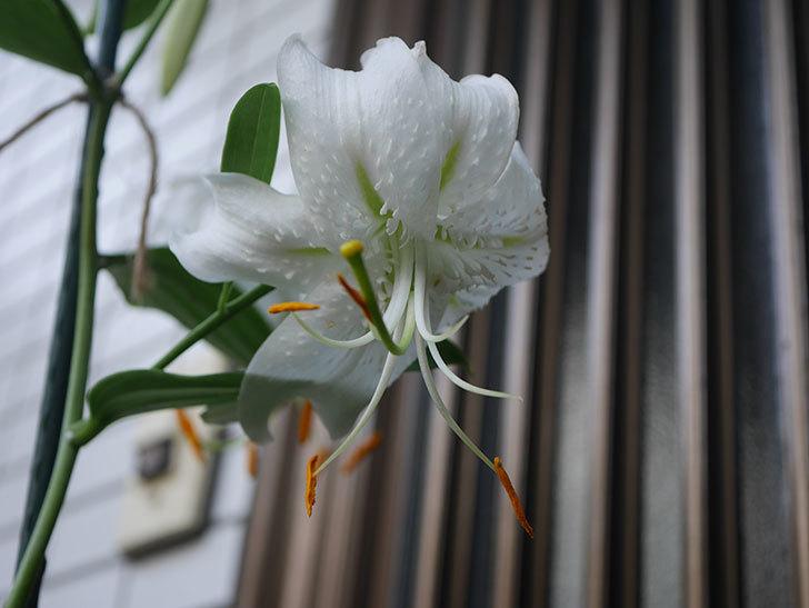 花弁が反っている白いユリの花が増えてきた。2020年-017.jpg