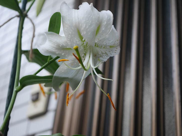 花弁が反っている白いユリの花が増えてきた。2020年-018.jpg