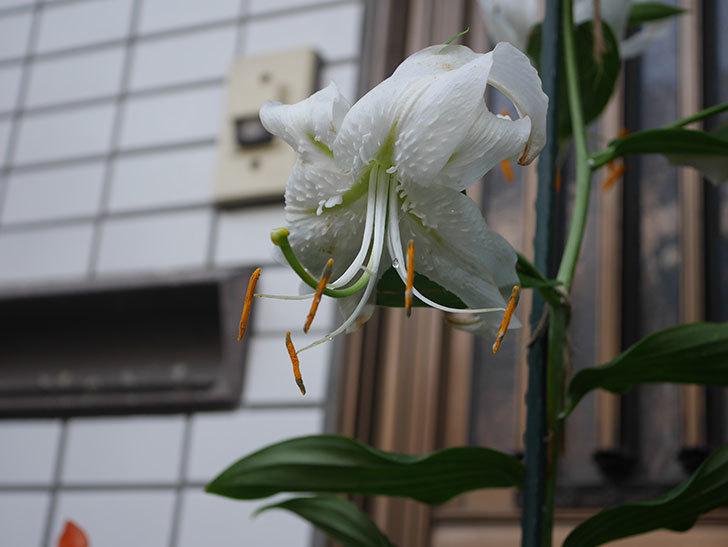 花弁が反っている白いユリの花が増えてきた。2020年-019.jpg