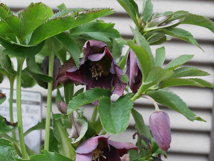 花弁が尖ったオリエンタリス-紫のシングルの花が咲いた。2020年-3.jpg