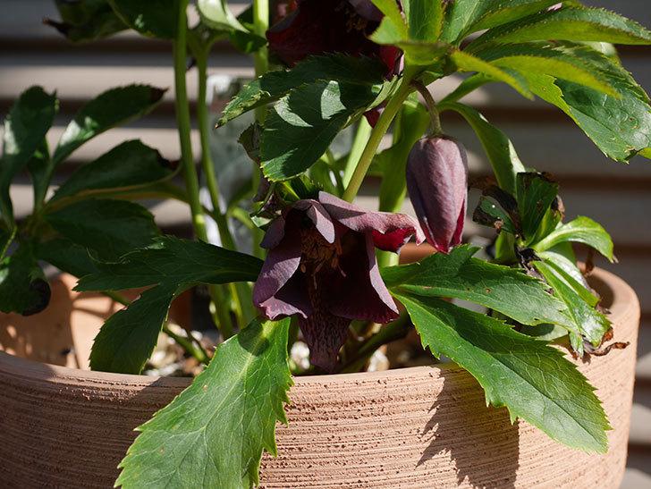花弁が尖ったオリエンタリス-紫のシングルの花が咲いた。2020年-6.jpg