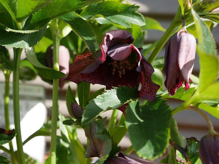花弁が尖ったオリエンタリス-紫のシングルの花が咲いた。2020年-7.jpg