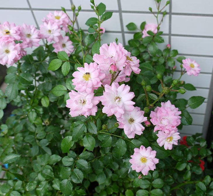 花霞(木立バラ)の2番花が咲いた。2017年-1.jpg
