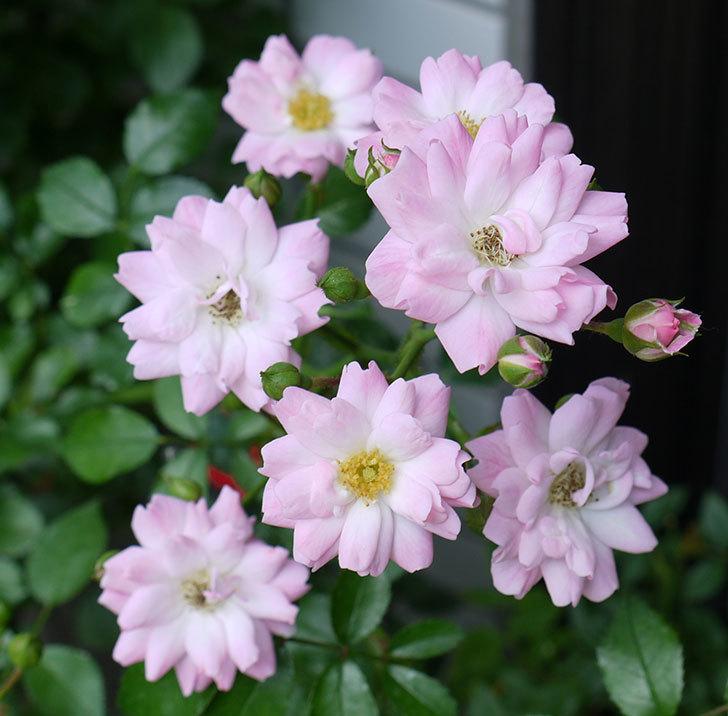 花霞(木立バラ)の2番花が咲いた。2017年-2.jpg