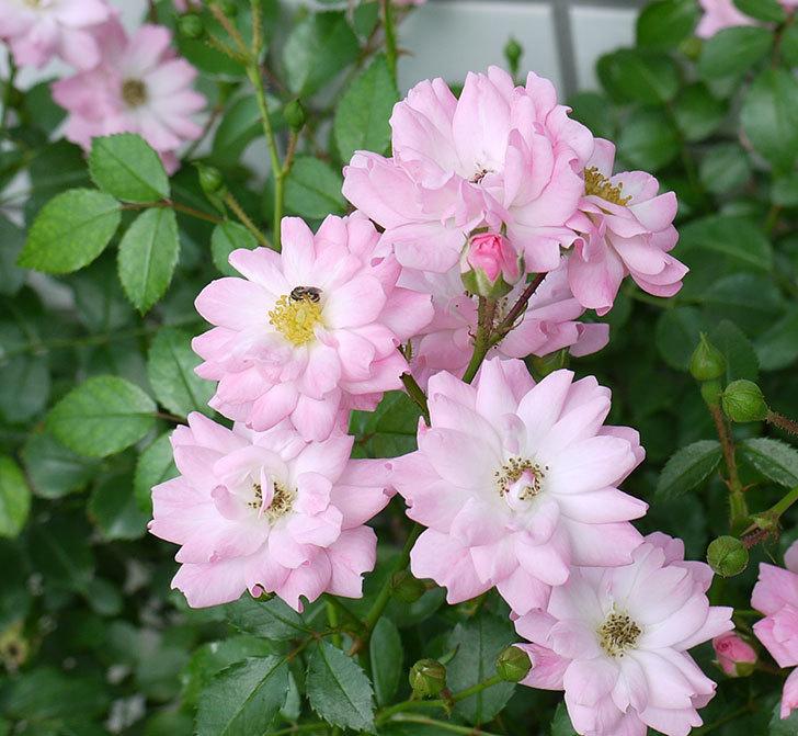 花霞(木立バラ)の2番花が咲いた。2017年-3.jpg