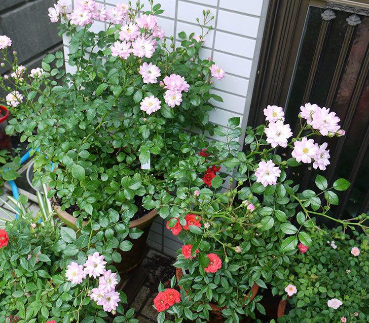 花霞(木立バラ)の2番花が咲いた。2017年-4.jpg