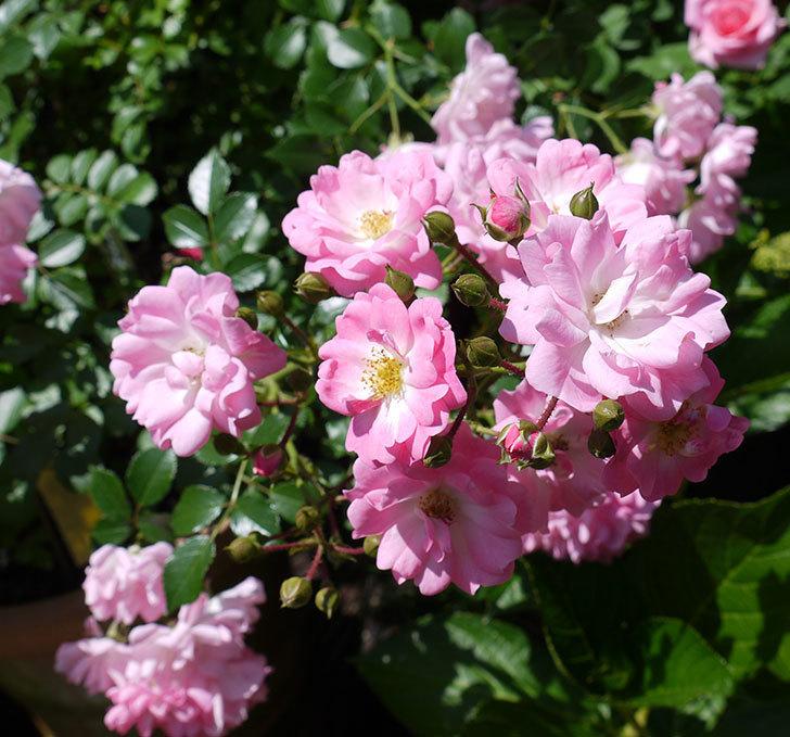 花霞(木立バラ)の花がたくさん咲いた。2017年-3.jpg