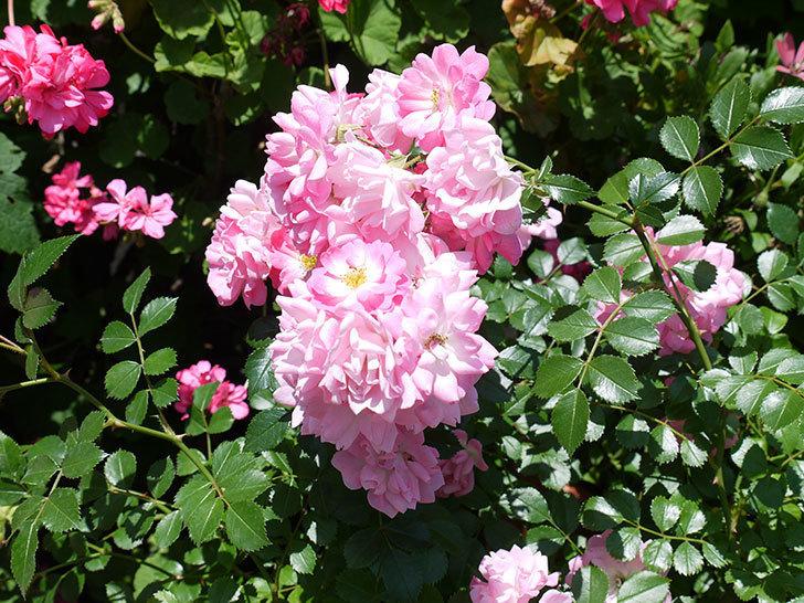 花霞(木立バラ)の花がたくさん咲いた。2017年-7.jpg