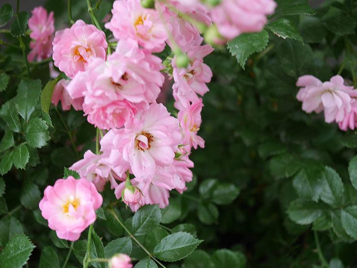 花霞(木立バラ)の花がたくさん咲いた。2019年-3.jpg