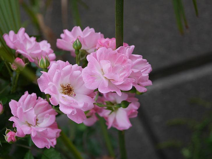 花霞(木立バラ)の花がたくさん咲いた。2019年-4.jpg