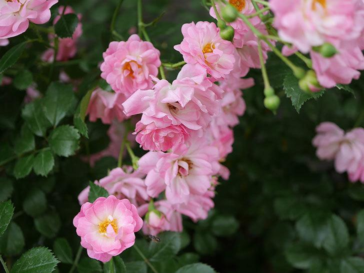 花霞(木立バラ)の花がたくさん咲いた。2019年-5.jpg