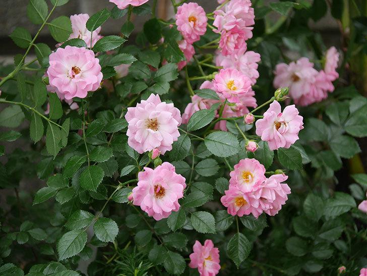 花霞(木立バラ)の花がたくさん咲いた。2019年-6.jpg
