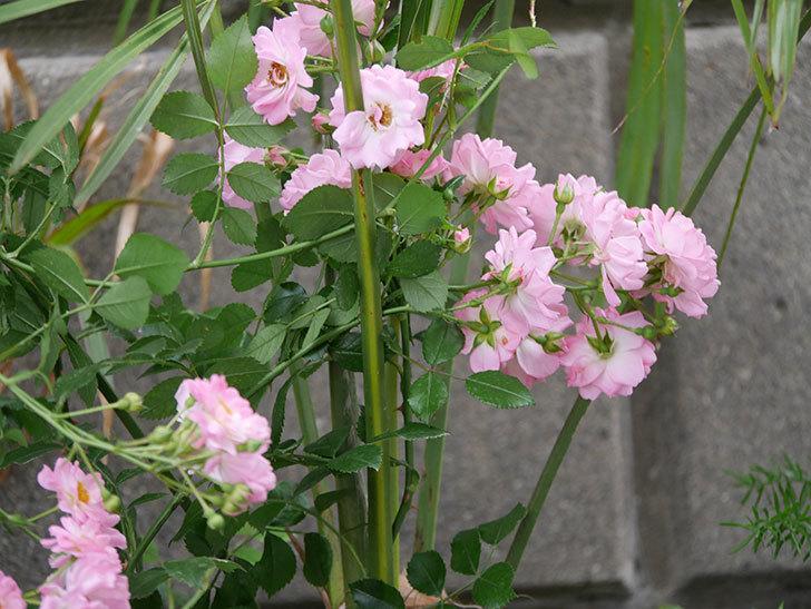 花霞(木立バラ)の花がたくさん咲いた。2019年-7.jpg
