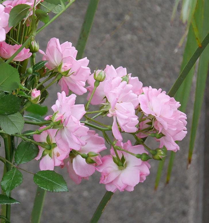花霞(木立バラ)の花がたくさん咲いた。2019年-9.jpg