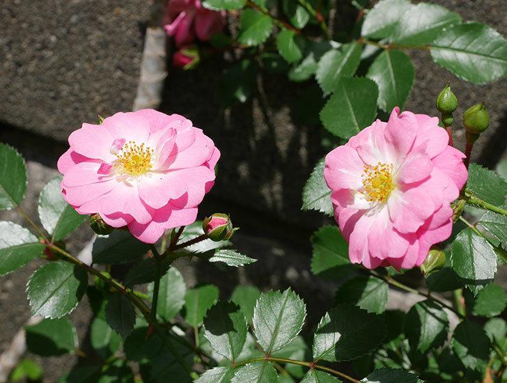 花霞(木立バラ)の花が咲いた。2018年-1.jpg